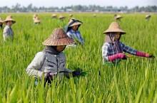 我国派出专家帮助缅甸农业