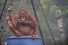 焚烧林致数十万公顷红毛猩猩保护区烧毁